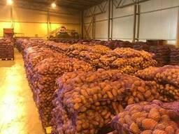 Fresh potatoes: Breeze , Manifesto - perfect quality