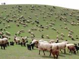 Sheep's wool - photo 4